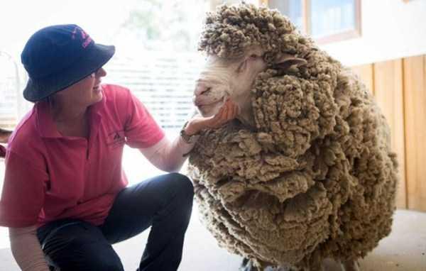 unshaven-sheep (3)