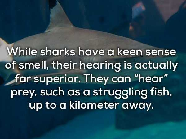 scary-shark-facts (16)