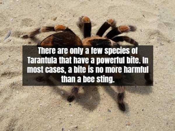 tarantula-facts (1)