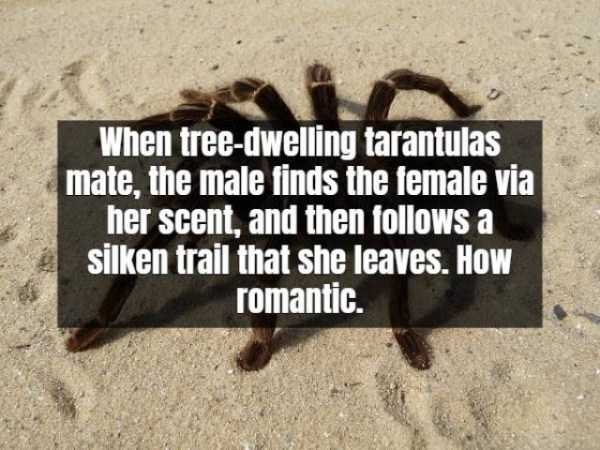 tarantula-facts (10)