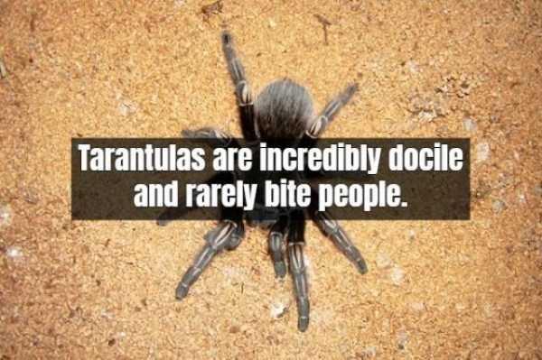tarantula-facts (13)