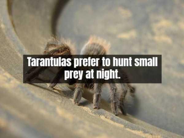 tarantula-facts (14)