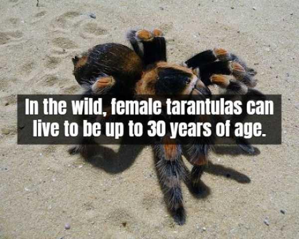 tarantula-facts (4)