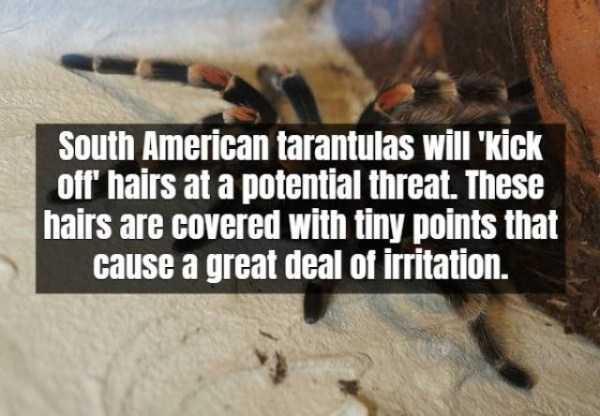 tarantula-facts (5)