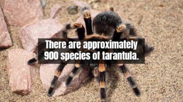 tarantula-facts (7)