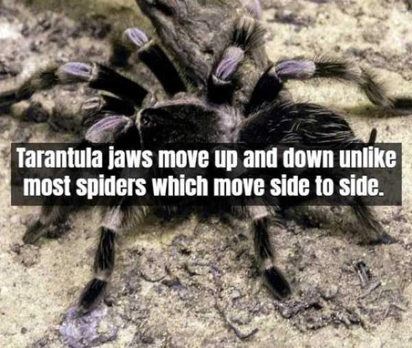 tarantula-facts (8)