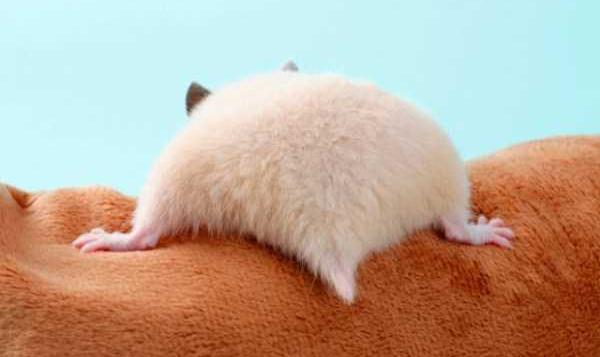 hamster-butts-(22)